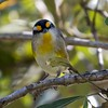 The Hypnotic Power Of Eyebrows (gecko47) Tags: bird pardalote striatedpardalote pardalotusstriatus mangroves boondallwetlands brisbane melanocephalus stare eyebrows creek