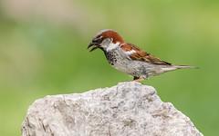 House Sparrow (Lynn Tweedie) Tags: rock ef400mm56usm beak tail canon ngc animal male housesparrow 7dmarkii feathers bird black green eye missouri bokeh eos