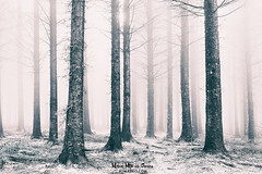 The white forest (Mimadeo) Tags: forest fog tree trees trunk trunks light landscape foggy mist misty morning wet mystery mysterious mood nature park wood beautiful idyllic bright black white blackandwhite highkey ethereal monochrome fantasy winter cold bare sunlight sunshine