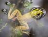 frogger (primemundo) Tags: frog frogger bubbles wetlands eyes float floater odc water