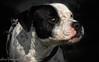 faruck (cheropereyra) Tags: perro dog mascotas pitbull miradas