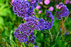 Lilac Legion (TheseusPhoto) Tags: beautyinnature beautiful flowers bloom color vivid colors nature natureporn naturephotography sanfrancisco california petals