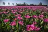 tulips tulips everywhere tulips (wimvandemeerendonk, back home) Tags: flower flowers tulips tulip flevoland noordoostpolder color colors colours colour sony sky sun sunset purple landscape light netherlands nederland outdoors outdoor panorama spring thenetherlands wimvandem garden