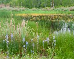 Camas oasis (jamesdelbertanderson) Tags: camas camassia wildflowers twinlakesrecreationarea washington easternwashington inlandnorthwest wetland