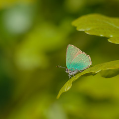 Green Hairstreak (microwyred) Tags: events nature butterflyinsect flying places beautyinnature greencolor wyreforest animal summer insect wildlife closeup macro beautiful butterfly colors multicolored outdoors greenhairstreak fragility blue yellow springtime animalwing