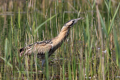 Bittern (Karen Roe) Tags: lakenheathfen rspb lakenheath fen nature reserve naturereserve suffolk county england britain uk unitedkingdom greatbritain gb canoneos760d canon 760d 150600mm sigma zoom contemporary wildlife may 2018 peaceful quiet tranquil outside spring weather season camera photography photograph photographer picture image snap shot photo karenroe female flickr visit visitor royal society protection birds member