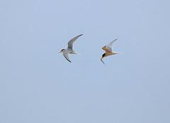 Little  Tern (acerman17) Tags: tern little flying flight capture food fish nature wildlife