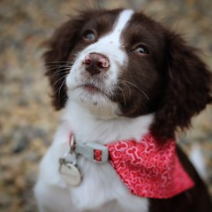 Posing puppy (karl2077) Tags: fluffy pet eos1300d canonphotography canon cute dog spaniel springerspaniel springer puppies puppy