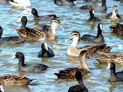 Ducks and Coots- (AdamsWife) Tags: bird birds coot duck coots ducks blackducks water