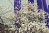 Into Dust (Jetcraftsofa) Tags: nikonf3 nikkor852 vista200 35mm slr filmphotography hana haru spring temporary intodust bloom decay