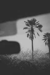 driver side (parijyan) Tags: car monochrome palm tree blackandwhite driver