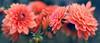 soft and sweet (Ifigeneia Vasileiadis) Tags: dahlia softtones matte darktones blue flower panorama