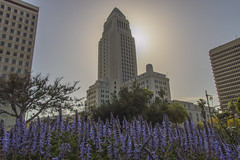 Los Angeles City Hall Afternoon Silhouette (aaronrhawkins) Tags: losangeles city hall la downtown afternoon spring silhouette california southerncalifornia purple groundcover aaronhawkins