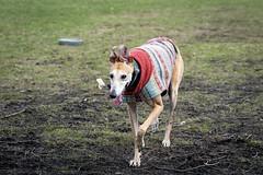 Having fun at the dog park (martinpatrickphoto) Tags: beercan a99ii minolta sony greyhound dog dogpark minnesota dundas northfield