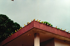 Waiting for Lunch (Vincent Jolicoeur) Tags: mauritius birds fody weaver roof