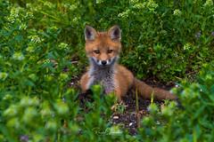 Red Fox - Vulpes vulpes | 2018 - 5 [EXPLORED] (RGL_Photography) Tags: carnivora fox foxkits gardenstate jerseyshore kits monmouthcounty mothernature newjersey nikonafs600mmf4gedvr nikond500 redfox us unitedstates vulpesvulpes wildkingdom wildlife wildlifephotography