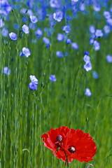 Trois idées de fleurs I/III : deux coquelicots dans un vague champ de lin... (stephane.desire) Tags: coquelicot lin champ rouge vert bleu fleur