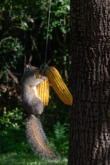 Hanging by a Thread (sctag1015) Tags: squirrels squirrel backyard animal mammal wildlife nature feeder corn