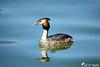 Les Siamois :-)) (jean-daniel david) Tags: oiseau oiseaudeau réservenaturelle reflet eau lac lacdeneuchâtel yverdonlesbains bleu volatile duo miroir