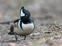 Duck....errrr.....Merganser, out of water (NorthShoreTina) Tags: merganser hoodedmerganser duck divingduck