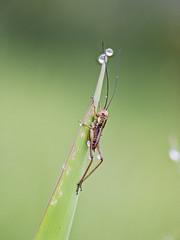2018-05-05 09-21-27 (C) (turbok) Tags: heuschreckenorthoptera insekten tiere wasserantieren wassertropfen c kurt krimberger
