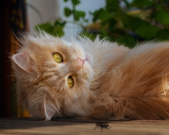Hello Fly ! (FocusPocus Photography) Tags: linus katze kater cat chat gato tier animal haustier pet fliege fly begegnung encounter