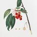 Cherry (Prunus avium) from Pomona Italiana (1817 - 1839) by Giorgio Gallesio (1772-1839).
