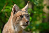 What a Beauty - Lynx (W_von_S) Tags: lynx luchs beauty beautiful wildpark wildlife poin ebersberg bavaria bayern natur nature cat katze eyes augen bokeh tele wvons werner sony sonyilce7rm2 outdoor 2018 mai may tier animal