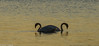 Mute Swans / Knoppsvaner (nils.loland) Tags: norway norge birds fugler nature natur muteswan knoppsvaner svaner solnedgang sunset tronderøy gamlehellesund