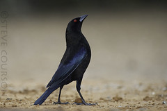 bronzed cowbird (Steve Courson) Tags: santaclararanchtexas bronzedcowbird stevecourson