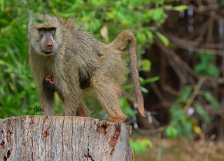 Hang on to your mama as long as you can! (And hang onto your kids as long as you can!) Isn't this such a cute shot of the infant yellow baboon hanging on to its mom? Happy Mother's Day to Everyone! 7142b+