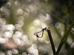 Love is in the Air (ursulamller900) Tags: pentacon26100 früheadonislibelle pyrrhosomanymphula mygarden bokeh insekt pond teich