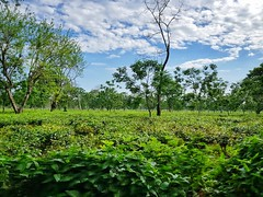 Darjeeling Diary (pritam.nandy) Tags: tea teastate siliguri westbengal darjeeling diary cloud green awesome nature beautiful samsunggalaxys8 photography mobileshot love