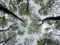 Common Ash (Baractus) Tags: earlswood moathouse nature reserve wildlife trust warwickshire uk john oates common ash