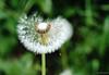 Dandelion (frankdorgathen) Tags: makro macro dandelion löwenzahn flower blume nature natur tender zart bokeh fokus focus blur unschärfe sigma60mmemount alpha6000