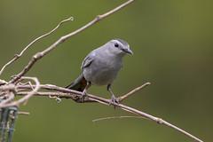 Gray Catbird (DFChurch) Tags: princeton wv westvirginia gray catbird nature feather animal wild dumetellacarolinensis
