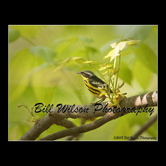 magnolia warbler (wildlifephotonj) Tags: magnoliawarbler magnoliawarblers warbler warblers songbirds wildlifephotographynj naturephotographynj wildlifephotography wildlife nature naturephotography wildlifephotos naturephotos natureprints birds bird