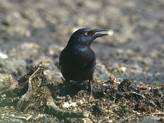 Common Grackle (miketabak) Tags: