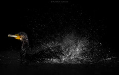 Great Cormorant (Phalacrocorax Carbon) (Wildlife, Landscape & Cultural) Tags: greatcormorant phalacrocoraxcarbo great cormorant phalacrocorax carbo beauty 500mm tc14 d4s nikkor nikon wildlife wild nature desert uae dubai tc17 outdoor animal bird splash water drop drops droplet asian kinanechtay echtay kinan serene people photoadd