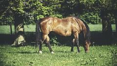 20180514-163737 - Spring Horse Bokeh (torstenbehrens) Tags: spring horse bokeh kreis segeberg schleswigholstein deutschland autorevuenon mc m42 200mm f35 zhongyi objektiv turbo ii efm43 wecellent m42ef adapter