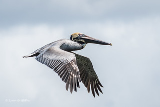 Brown Pelican 500_6610.jpg