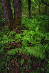 Ferns of Eastatoe Falls (Reid Northrup) Tags: rrs nature eastatoefalls ferns flower forest landscape nikon northcarolina reidnorthrup trees