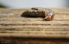 Got You in My Sights (nehall) Tags: slugs gastropods nature snails