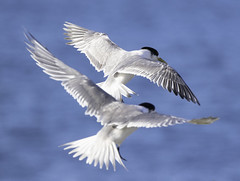 Crested Terns in Flight (Arcus Cloud) Tags: australianbirds photography seabird inmotion inflight flying crestedtern terns tern flight birdsinflight birdphotography bird birds