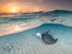 Sunrise ray (jimcatlinphotography.com) Tags: underwaterphotography underwaterimage underwaterphoto ocean stingray city sunrise southernstingray