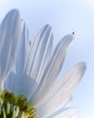 Je suis le roi du monde ! (jf.cudennec) Tags: nature animal insect flower spring daisy white blue smooth bretagne breizh brest kerbonne canon 70d 100mm macro macrophotography macrophoto