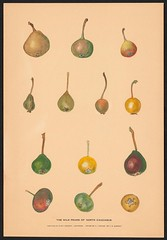 n6_w1150 (BioDivLibrary) Tags: apples drawings pears pictorialworks sovietunion watercolors cornelluniversitylibrary bhl:page=55916797 dc:identifier=httpsbiodiversitylibraryorgpage55916797 cornellcider