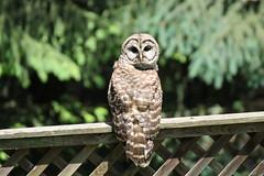 it's all about the head turn! (karma (Karen)) Tags: baltimore maryland home backyard birds barredowl fences trees spruce dof bokeh hbw topf25 cmwd