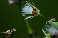 Vilano o papus (carlosbenju) Tags: naturaleza nature verde green vegetation vegetacion macros macrofotografia macro macroflower macroflor macrodreams