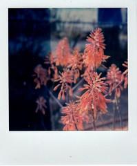 aloe in bloom (EllenJo) Tags: polaroid sx70 instantfilm impossibleproject polaroidoriginals april2018 ellenjo aloe flower bloom arizona clarkdale home yard springtime